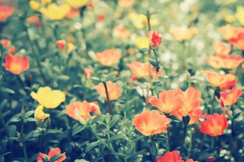 初めて花を選ぶなら「ポーチュラカ」