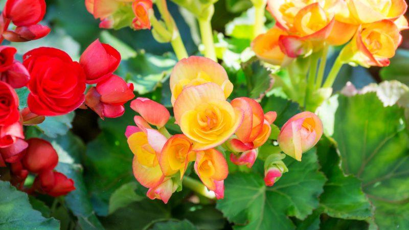 ハート形の花びらが可愛い「ベゴニア」