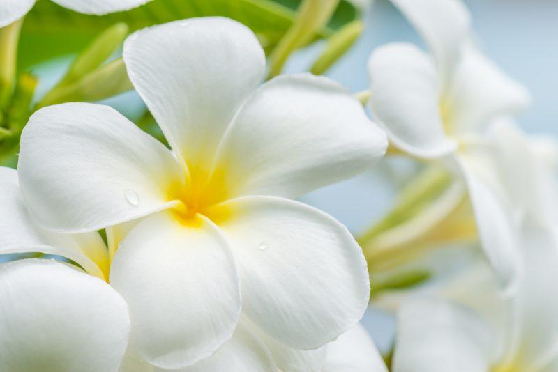 ハワイの代表花・プルメリア