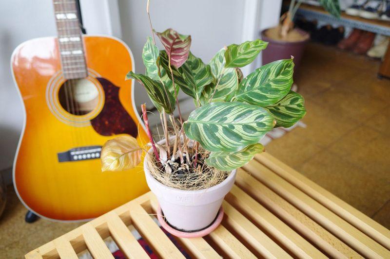 お気に入りの観葉植物カラテア