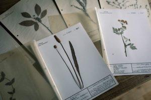 アンティークの植物標本